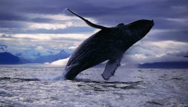 В Канаде спасли жизнь полярного кита