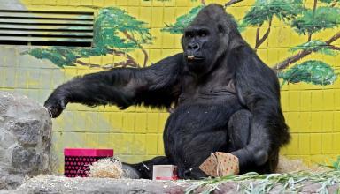 Единственной горилле в Украине исполнилось 45 лет
