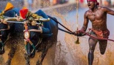 Власти Индии проверят чемпиона гонок с буйволами, который якобы побил рекорд Усэйна Болта
