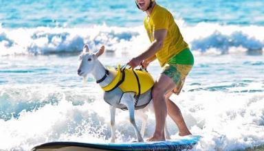 Коза-серфингистка: спортсмен из Калифорнии научил животное покорять волны